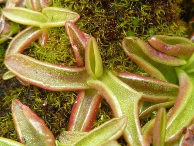 Жирянка альпийская (Pinguicula alpina)