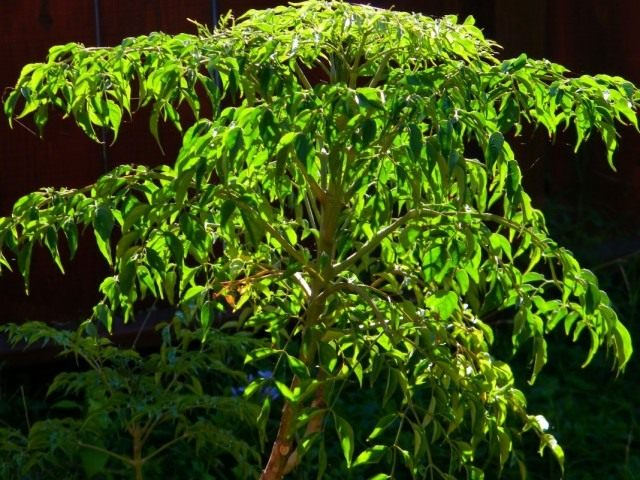 Радермахера китайская (Radermachera sinica)