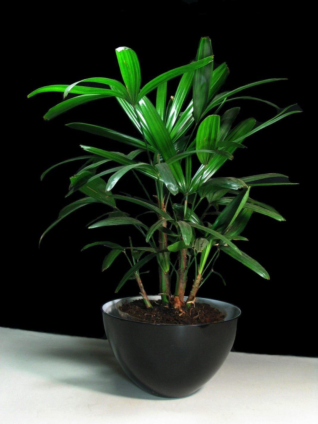 Бамбуковая пальма уход в домашних условиях фото 69