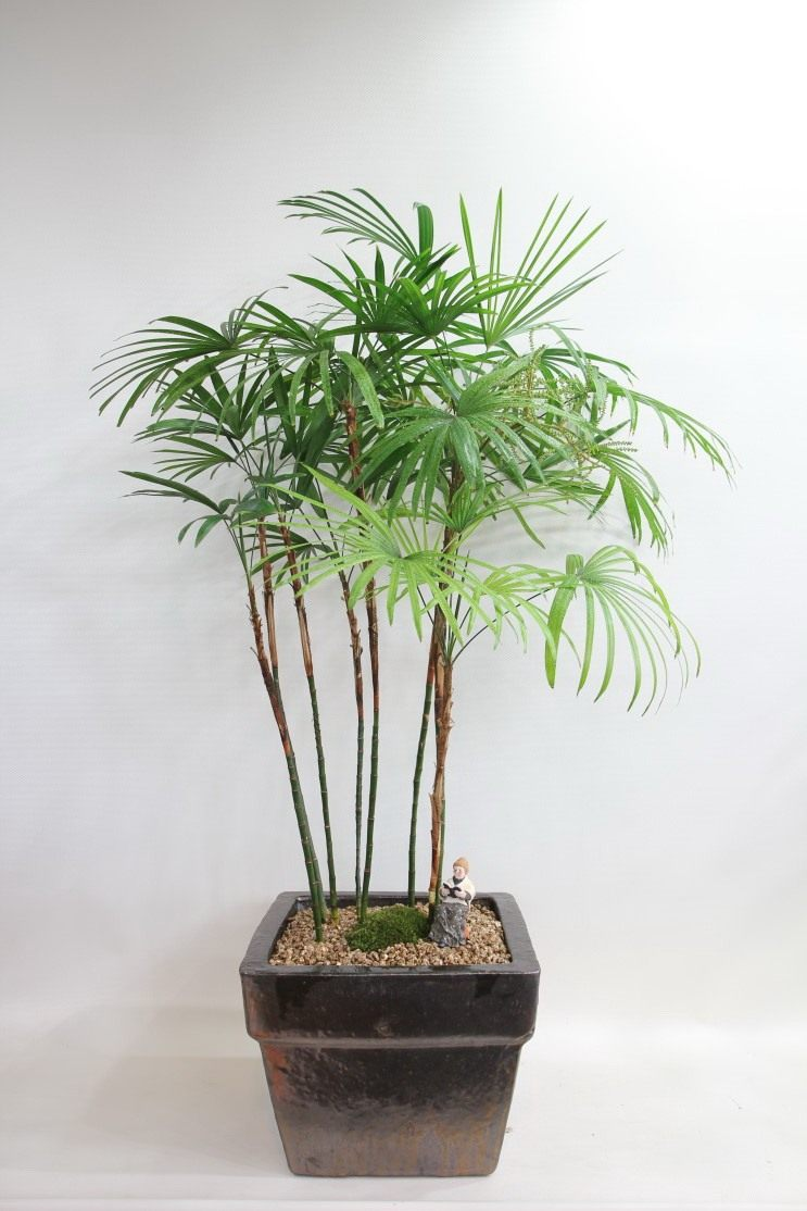 Бамб�ковая пал�ма �апи� У�од в дома�ни� ��ловия� Фо�о