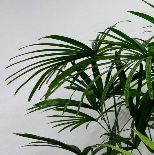Pапис низкий (Rhapis humilis)