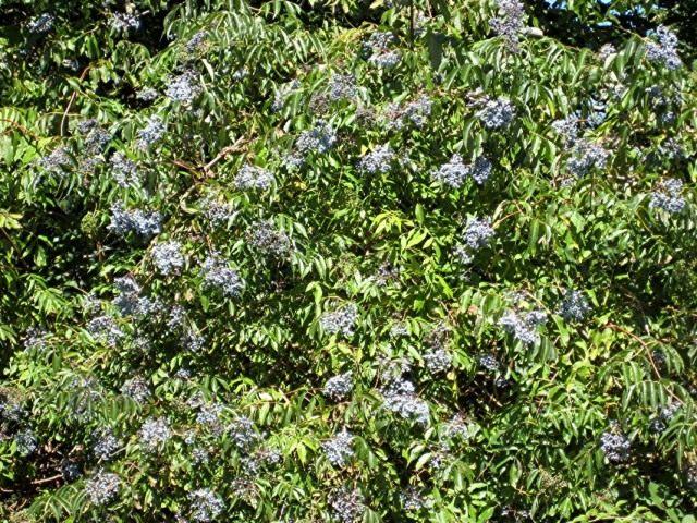 Бузина голубая (Sambucus cerulea)