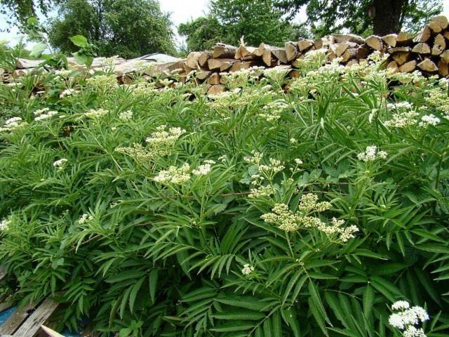Бузина травянистая (Sambucus ebulus)