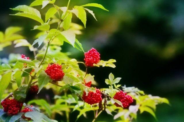 Бузина красная (Sambucus racemosa)