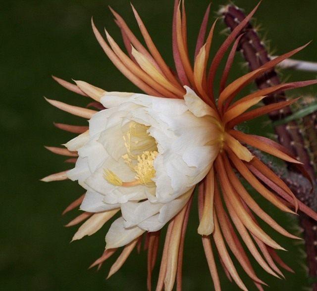 Селеницереус шишкоцветковый (Selenicereus coniflorus)