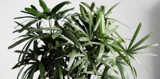 Бамбуковая пальма рапис