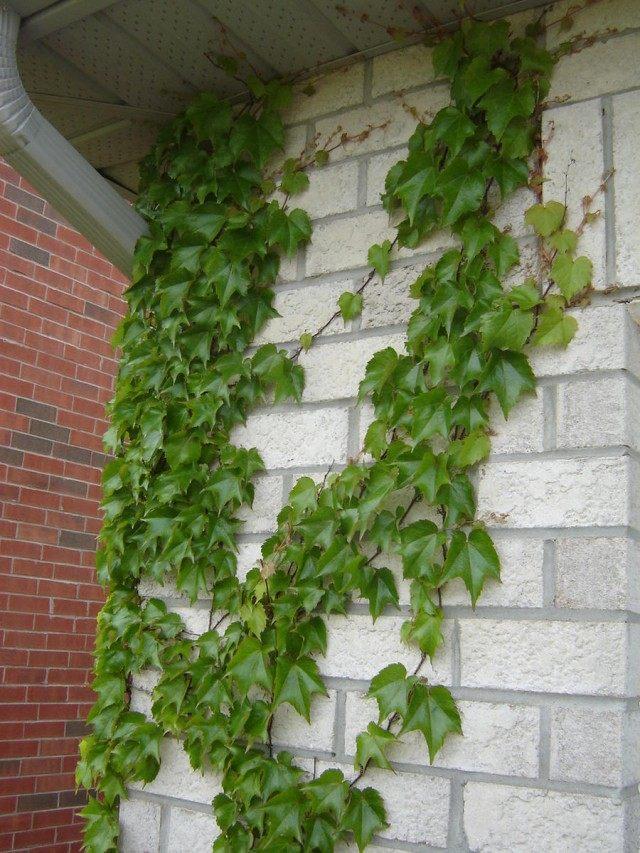 Виноград девичий на стене дома