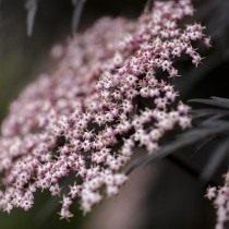 Бузина чёрная «Блек Лейс» (Sambucus nigra 'Black lace')