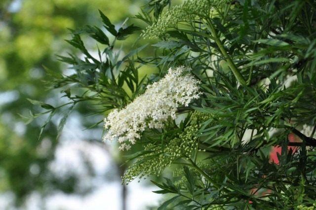 Бузина чёрная рассечёнолистная (Sambucus nigra var. laciniata)