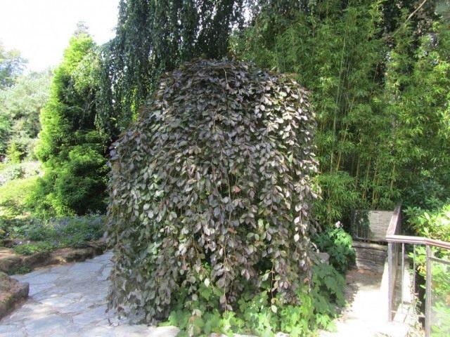 Бузина чёрная плакучая (ambucus nigra f. pendula)