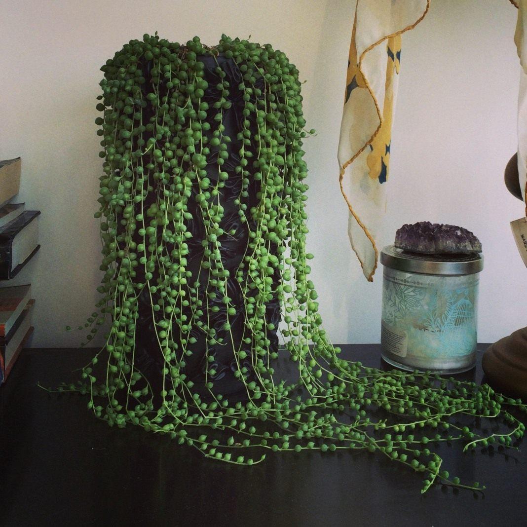 Цветы комнатные крестовник