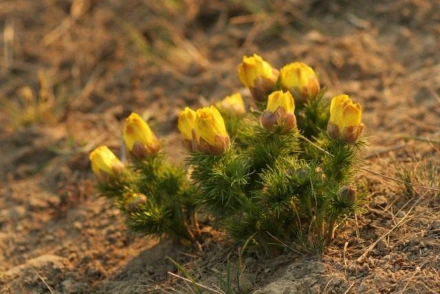 Адонис весенний, или Горицвет весенний (Adonis vernalis)
