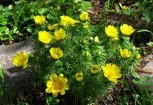 Адонис — яркие солнышки в саду