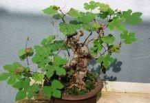 Виноградовник (Ampelopsis)