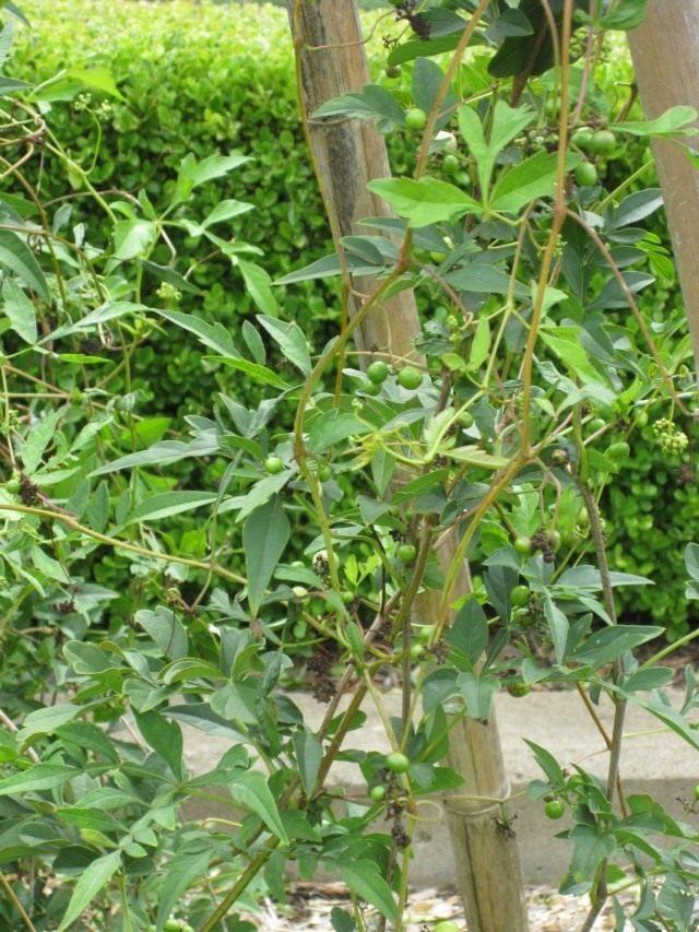 Виноградовник японский (Ampelopsis japonica)
