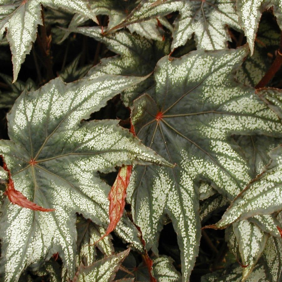 Begonia-Little-Brother-Montgomery-1