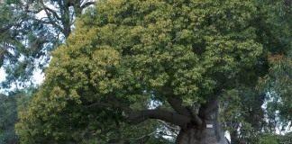 Брахихитон наскальный в Королевском ботаническом саду Сиднея