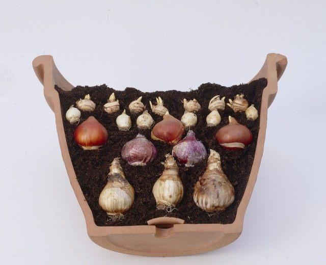 Посадка нескольких видов луковичных в один контейнер