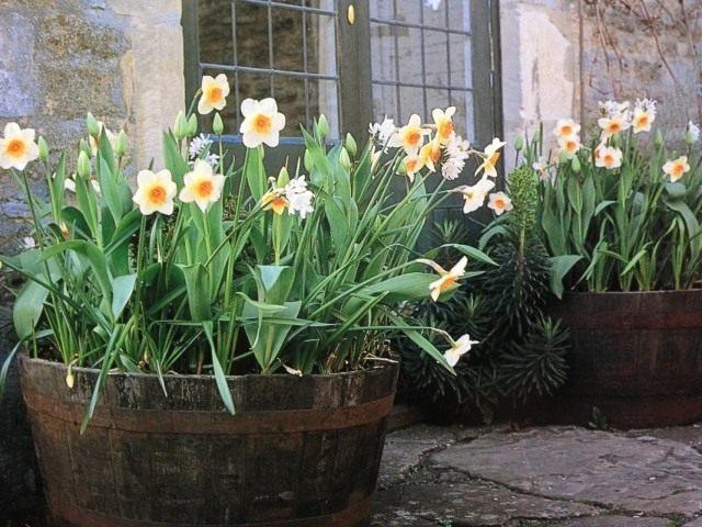 Нарциссы в контейнерном саду