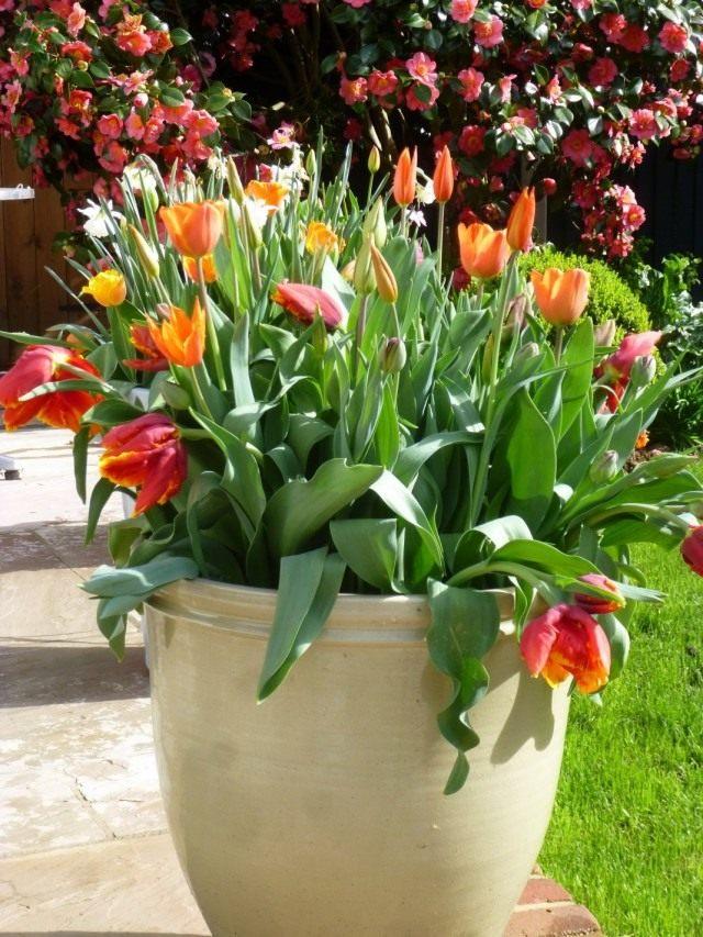 Горшечная композиция из тюльпанов