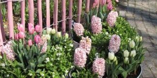 Горшечная композиция из весенних луковичных