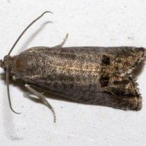 Бабочка Яблонной плодожорки (Cydia pomonella)