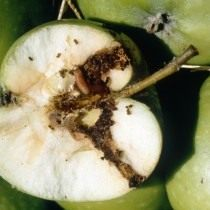 Вид на яблоко пораженное плодожоркой в разрезе