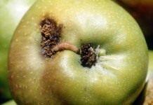 Как очистить сад от плодожорок?