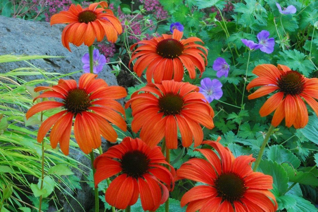 Echinacea-Tangerine-Dream-2