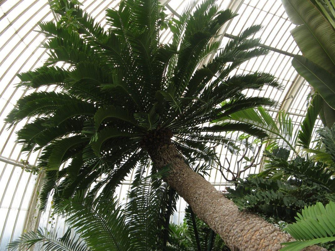 Encephalartos-altensteinii