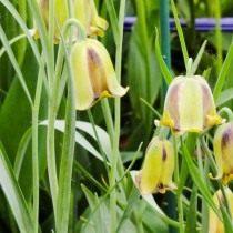 Рябчик иглолепестный (Fritillaria acmopetala)