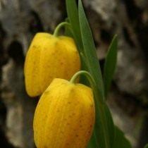 Рябчик золотистый (Fritillaria aurea)
