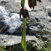 Рябчик двухцветковый (Fritillaria biflora)
