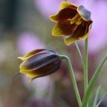 Рябчик Эрхарта (Fritillaria ehrhartii)