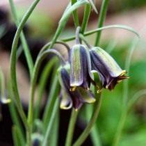Рябчик Элвеса (Fritillaria elwesii)