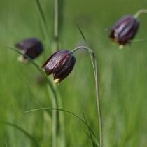 Рябчик шахматновидный, или Рябчик шахматовидный, или Рябчик малый (Fritillaria meleagroides)