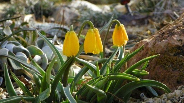 Рябчик скромный (Fritillaria pudica)