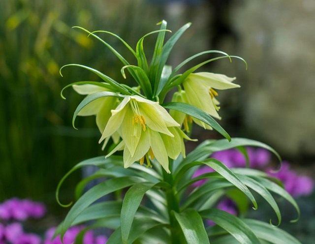 Рябчик Радде (Fritillaria raddeana)