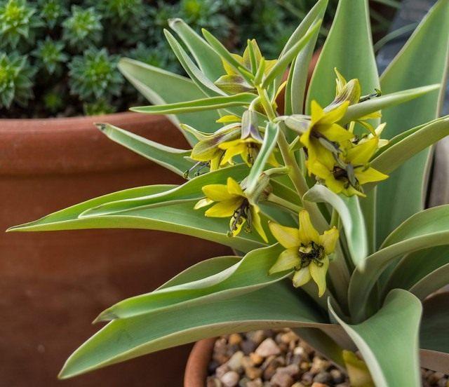 Корольковия Северцова, или Рябчик Северцова (Fritillaria sewerzowii)
