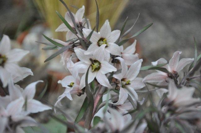 Рябчик узкопыльниковый (Fritillaria stenanthera)