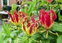 Глориоза — королева цветущих лиан