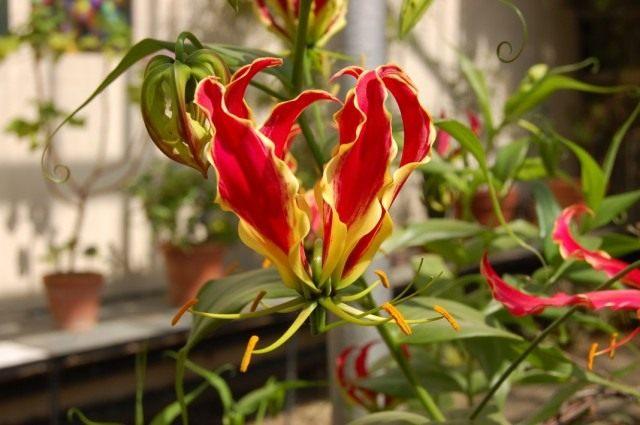 Глориоза роскошная или Глориоза великолепная (Gloriosa superba)