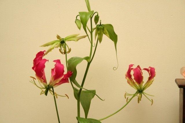 Глориоза (Gloriosa)
