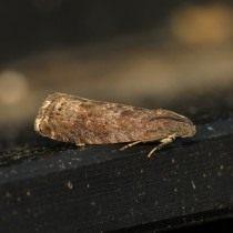 Бабочка сливовой плодожорки (Grapholita funebrana)