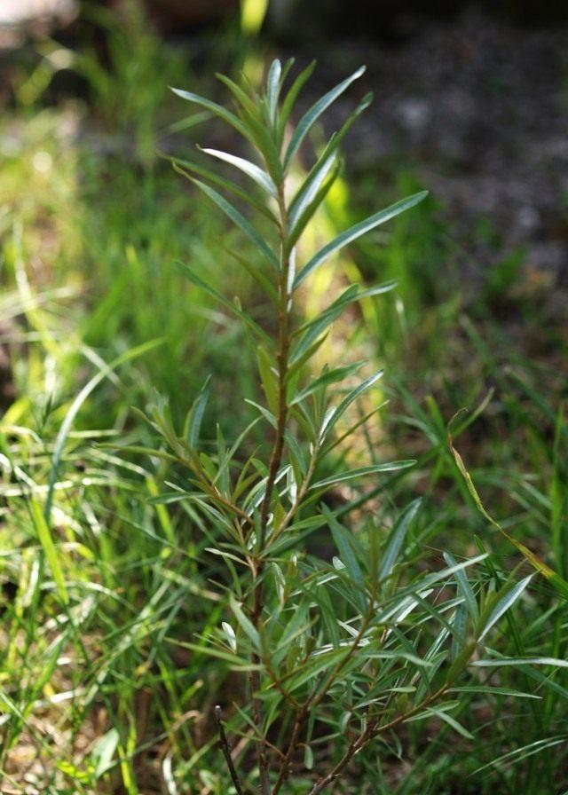 Облепиха крушиновидая (Hippophae rhamnoides)