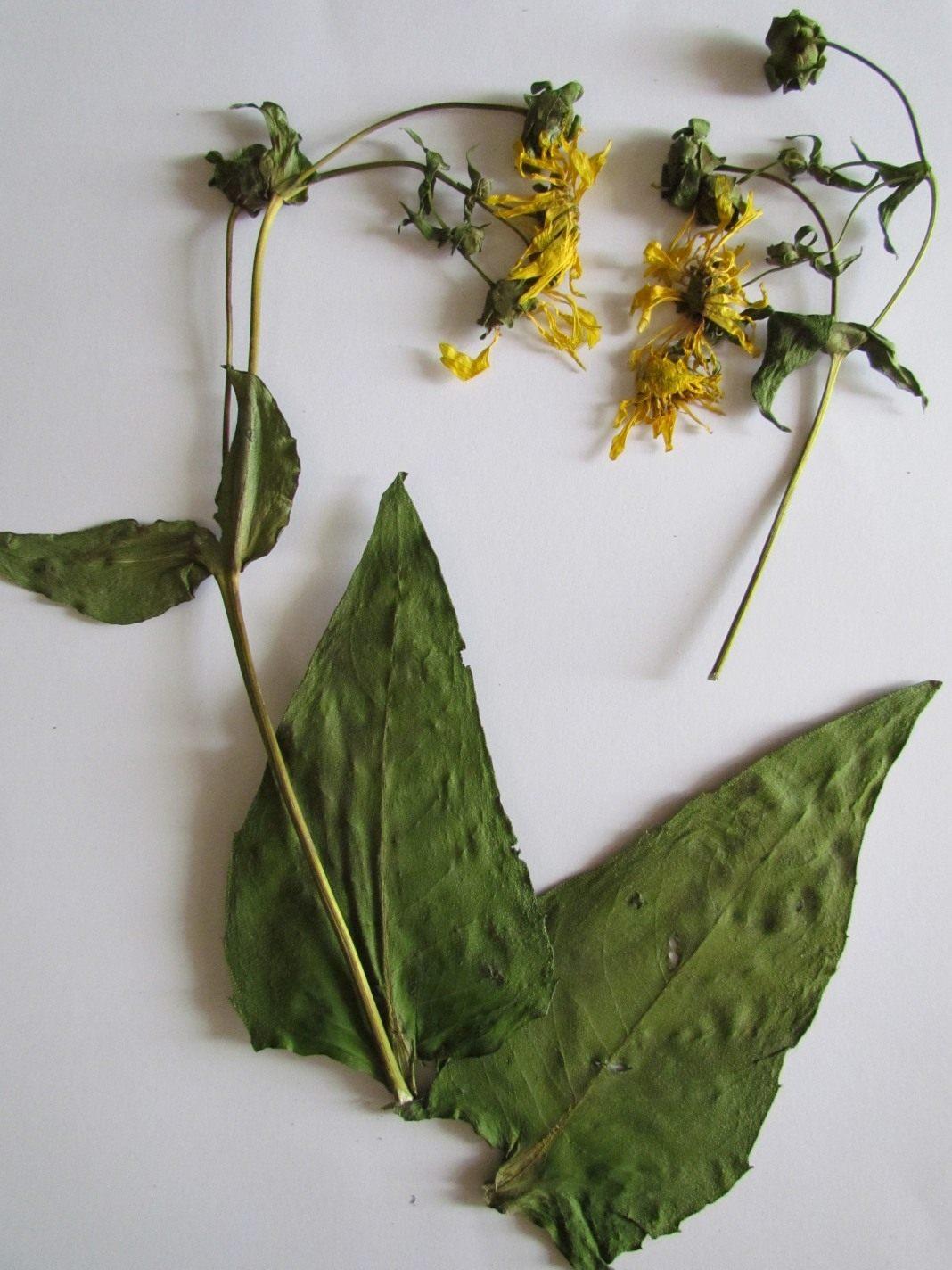 № 1 Высокое. с шершавыми листьями, крупными цветами