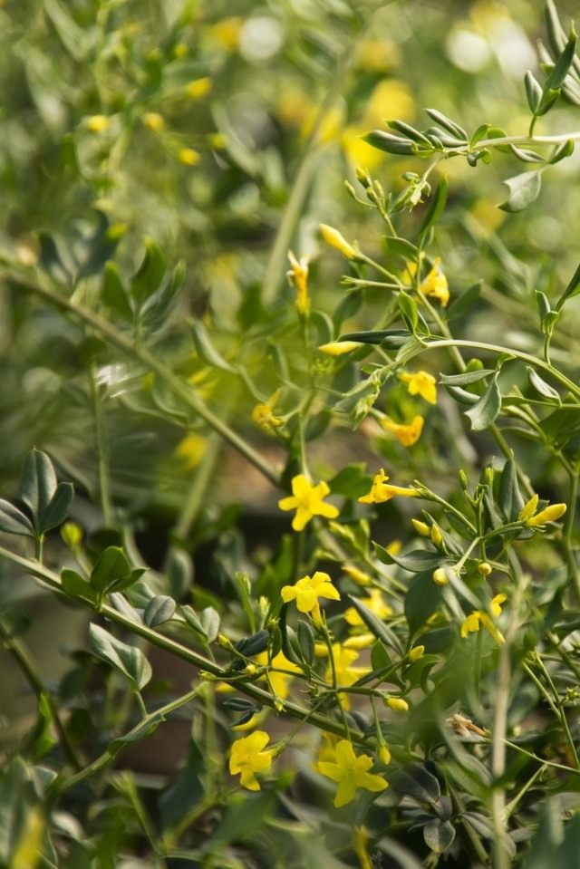 Жасмин цветистый (Jasminum floridum)