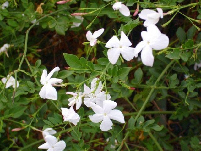 Жасмин белый (Jasminum officinale)