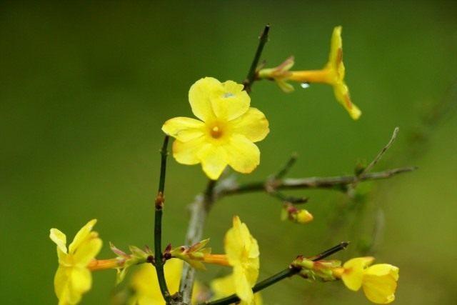Жасмин голоцветковый (Jasminum nudiflorum)