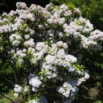 Кальмия широколистная (Kalmia latifolia)